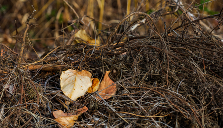 Brown golden dead fallen autumn leaf on a background of twigs Stock Photo