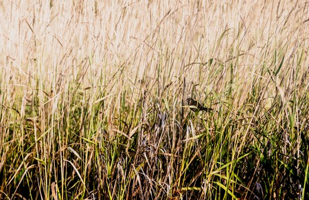Small bird obscured by tall brown and green field grass