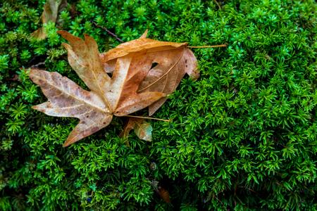 Brown golden dead fallen autumn leaf on a green background of moss