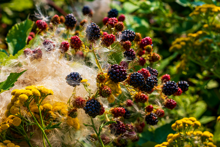 Blackberry plant mixed with tiny yellow flowers and fluffy cotton like foliage Stock Photo
