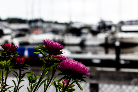 Purple flowers and green stems in a harbor with boats Stock Photo
