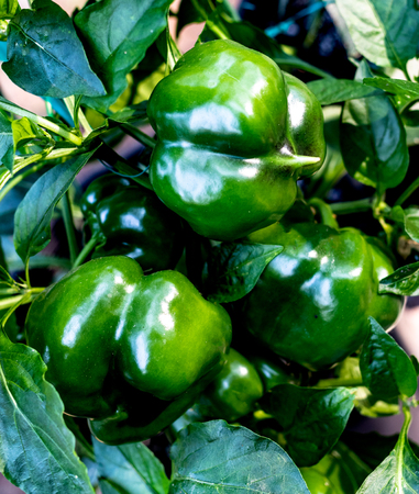 Fresh green bell peppers growing fresh on the vine in a bunch