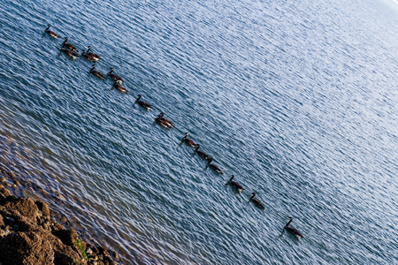 Canada Geese swimming in a row on ripple covered water with a rocky shore