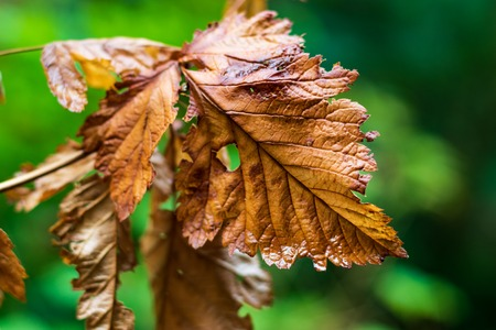 Brown golden dead autumn leaf on a green background