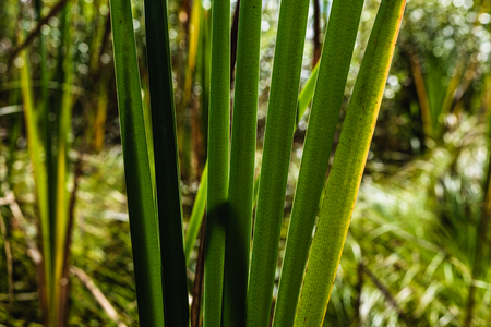 Green forest Cat Tails leaves and stalks growing in a dry swamp Stock Photo