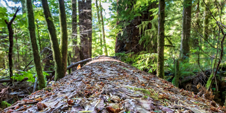 Fallen forest log perspective with trees and plants growing in the distance Stock Photo