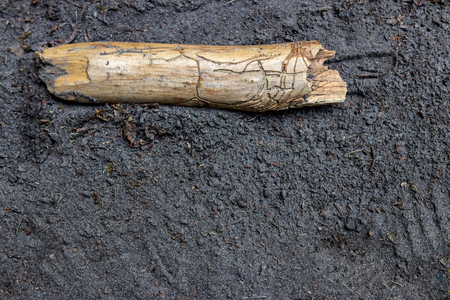 Wormwood trail ridden termite eaten stick laying on the sandy ground on a riverbed Stock Photo