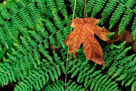 Brown golden dead fallen autumn leaf on a green background of ferns