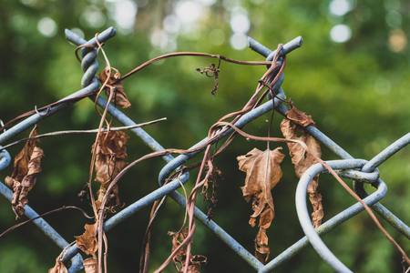 Dear dried morning flory vines on a chain link fence with trees Stock Photo