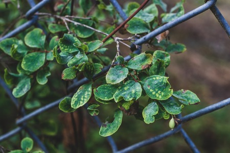 Green vivid leaves growing through a chain link fence