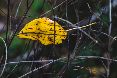 Brown golden dead fallen autumn leaf on a twiggy branch background Stock Photo