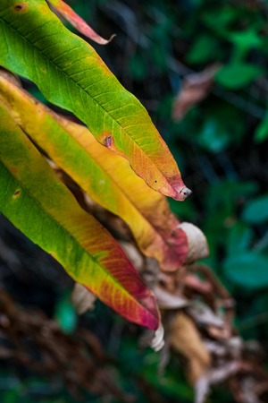 Green yellow brown and red leaves drying and curling up close up Stock Photo