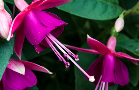Abstract close up fuchsia blooms with leaves Stock Photo