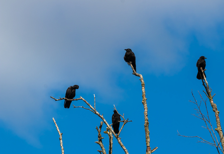Murder of crows gathering on dead tree branches with clouds and a blue sky Stock Photo