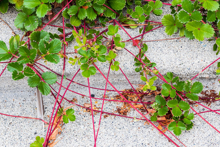 Red vine plant creeping over a concrete sidewalk in summer Stock Photo
