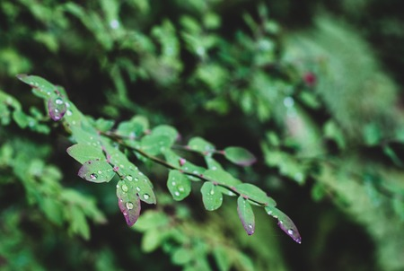 Wet Green forest floor leaves growing on a shrub after the rain Stock Photo