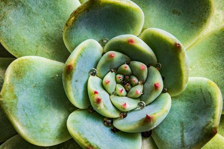Garden succulent close up in a pot with vivid color
