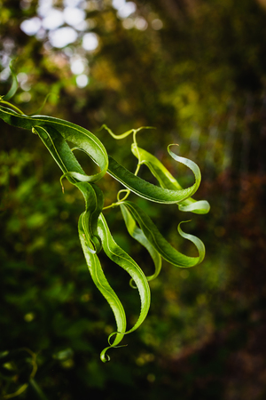 Twisty bright green lush leaved growing in the light Stockfoto