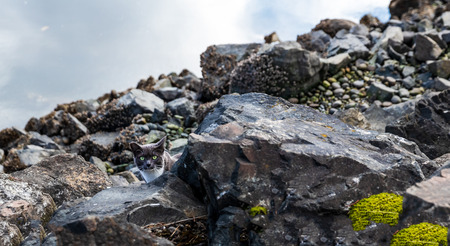 Stray cat stopping to look in the barnacle covered rocks Stok Fotoğraf