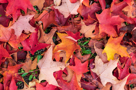 Bright vivid colorful autumn fall leaves changing colors Stock Photo - 124764667