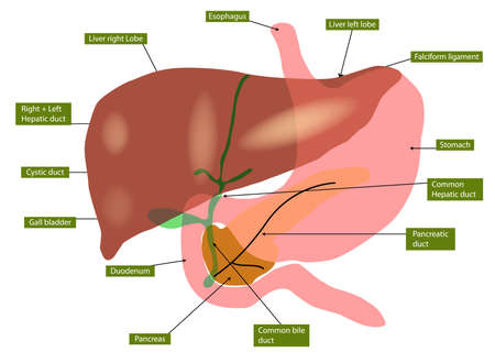 Illustration of anatomy of liver and gall bladder Vector