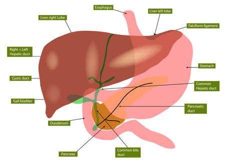 sistema digestivo humano: Ilustraci�n de la anatom�a del h�gado y la ves�cula biliar Vectores