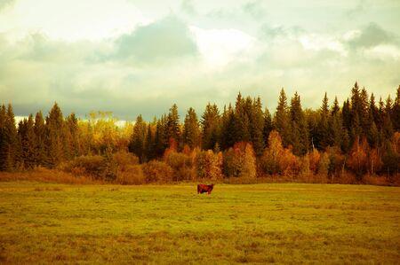 treeline: Cow in field Stock Photo