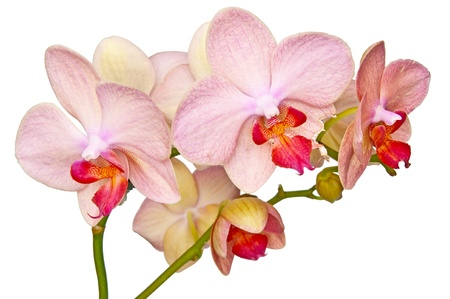 bunch of flowers beautiful pink orchid isolated Stock Photo - 9551948