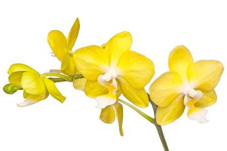 yellow orchid: bunch of flowers beautiful yellow orchid isolated Stock Photo