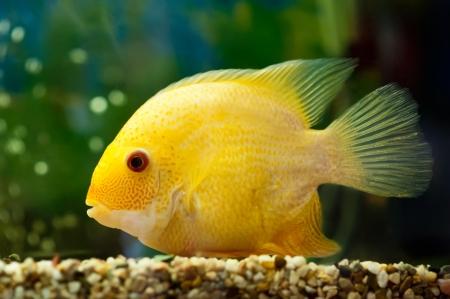 cichlasoma: beautiful golden fish cichlasoma severum, swimming in the aquarium