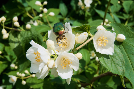 Green rose chafer on jasmine flower and some more jasmine flowers, close up view