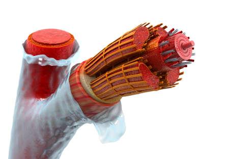 Human vein anatomy. 3d render 写真素材