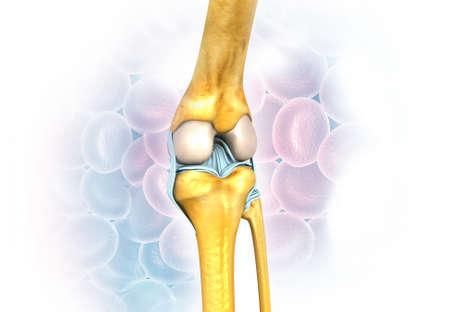 knee joint anatomy on medical background. 3d render