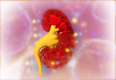 Cross section of internal anatomy of kidney on medical background. 3d illustration