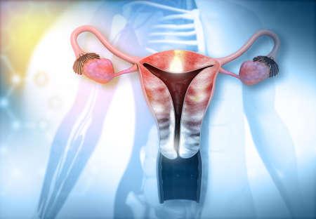 Anatomy of human uterus. 3d illustration   Stock fotó