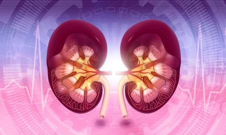 Kidney cross section. 3d illustration Standard-Bild