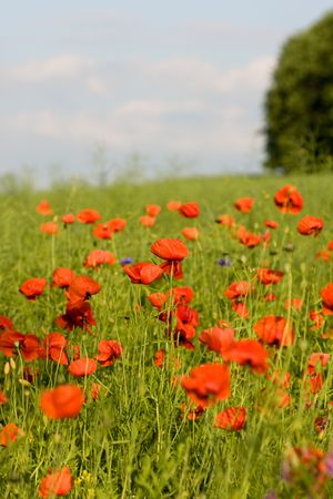 flowers, Red popies on green meadow Stock Photo - 3161034