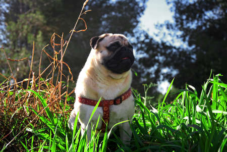 pug dog in a garden Stock Photo - 18410654