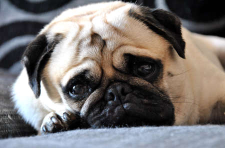 pug lying on the sofa looking at the camera