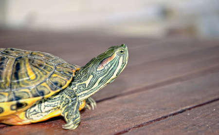 freshwater turtle walking and looking their environment Stock Photo