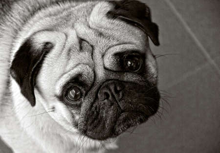 pug dog in black and white and his eyes wide open Standard-Bild
