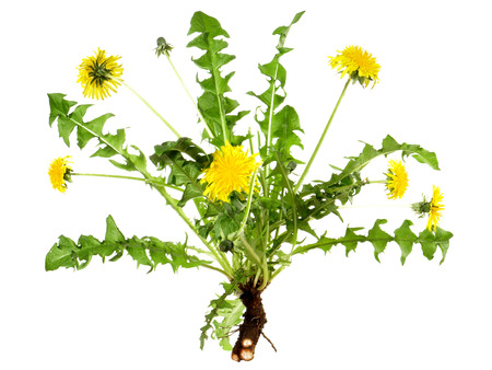 Dandelion Flower with Root on white Background