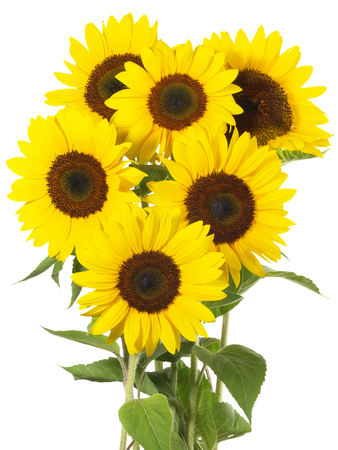 Group of sunflowers on white background Imagens