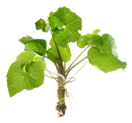 Wasabi Plant with Leaves and Root