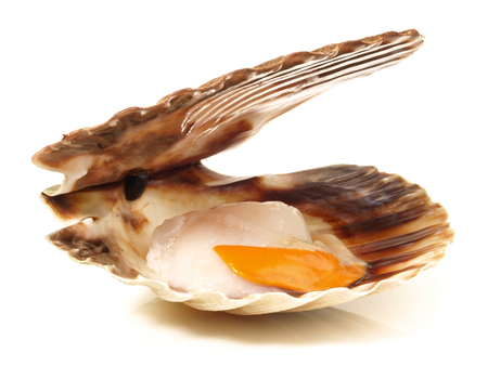 Scallops in the Shell on white Background
