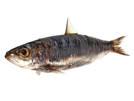 Sardelle - Fisch auf Weiß