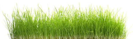Growing wheatgrass isolated on white