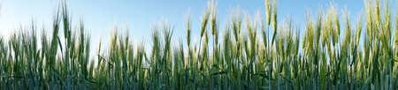 Young Green Barley Grass - Panorama