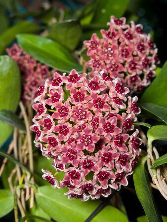 Beautiful hoya globulifera 4 bouquet blooming very well
