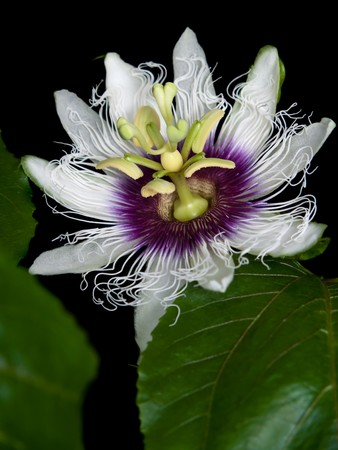 Flower of Passiflora edulis blooming with foliage Stock Photo